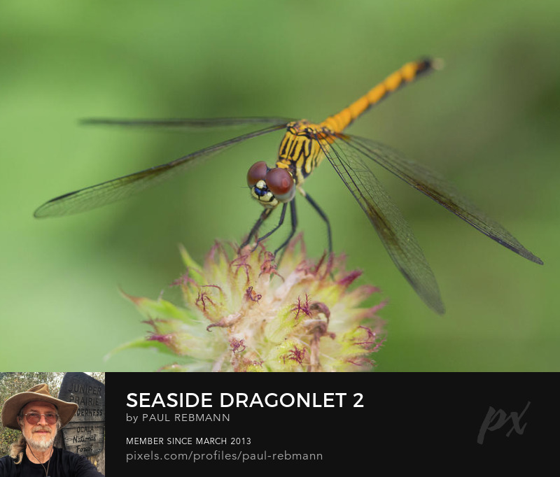 View online purchase options for Seaside Dragonlet #2 by Paul Rebmann