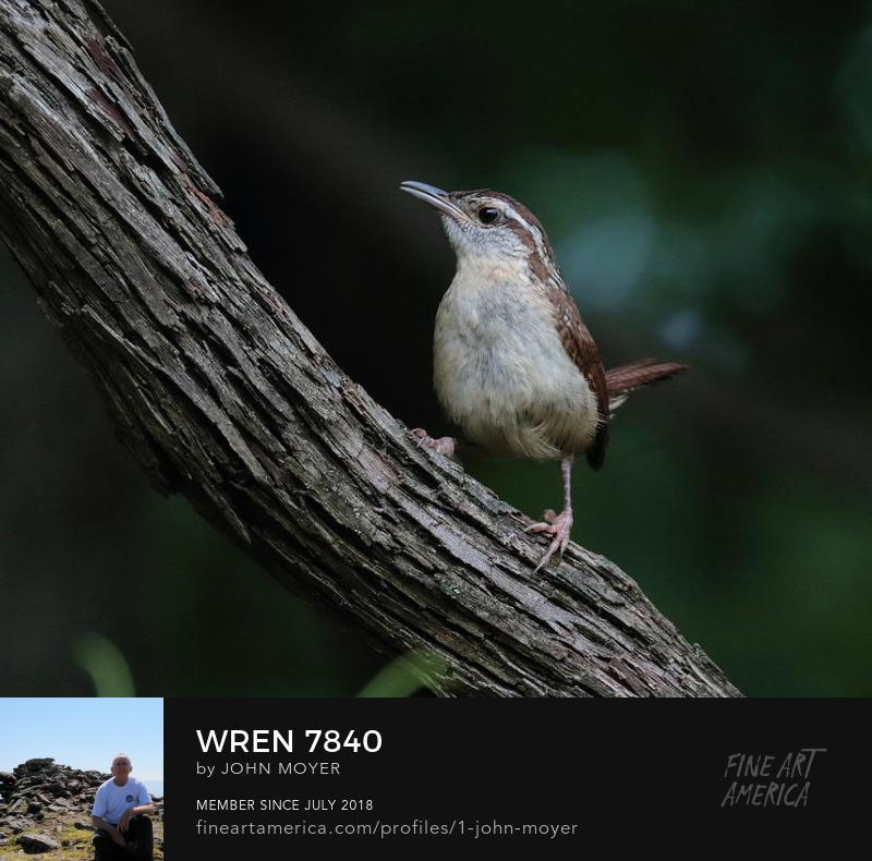 Carolina Wren (Thryothorus ludovicianus), Norman, Oklahoma, United States, May 24, 2019