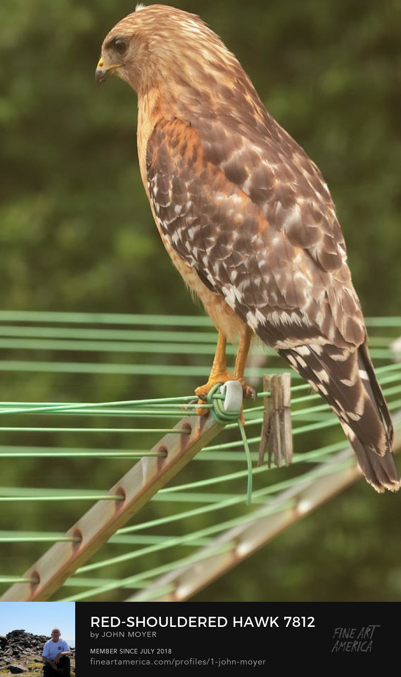 Red-shouldered Hawk (Buteo lineatus) on a clothes line, Norman, Oklahoma, United States, May 22, 2019