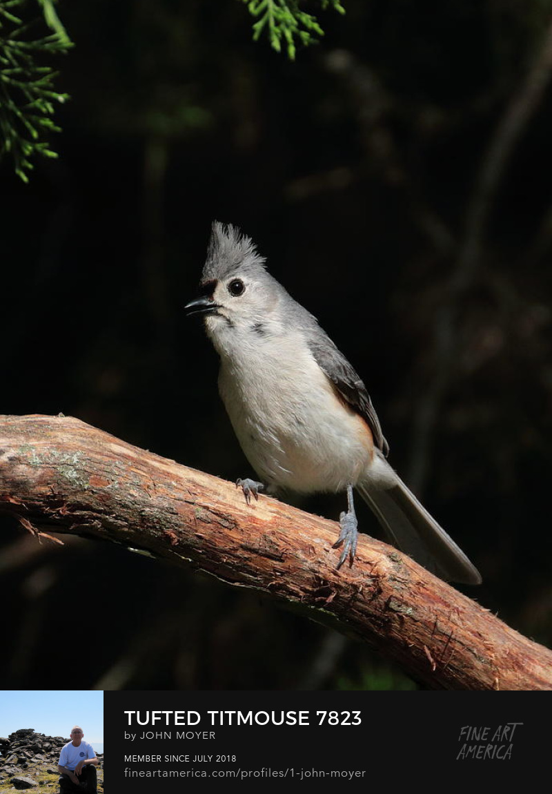 Tufted Titmouse (Baeolophus bicolor) on a cedar branch, Norman, Oklahoma, United States, May 24, 2019
