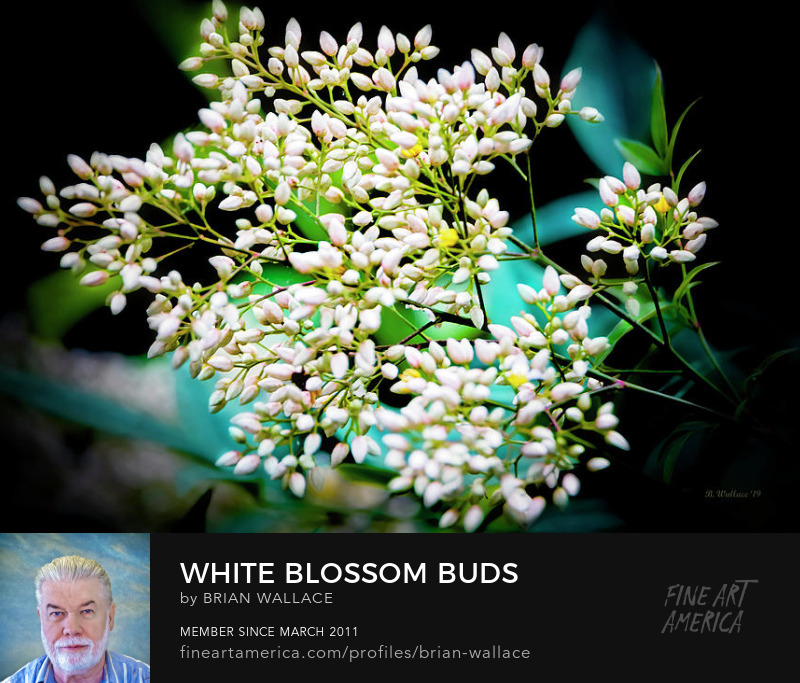 White Blossom Buds by Brian Wallace