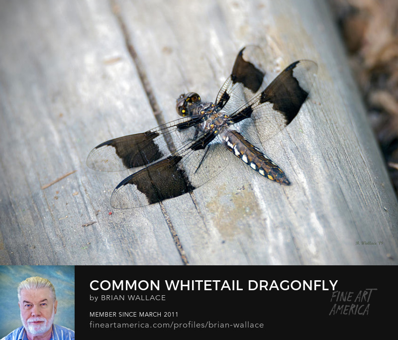 Common Whitetail Dragonfly by Brian Wallace