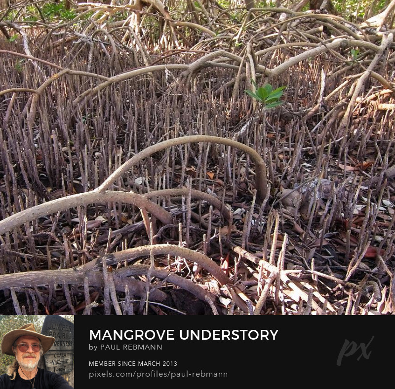 View online purchase options for Mangrove Understory by Paul Rebmann