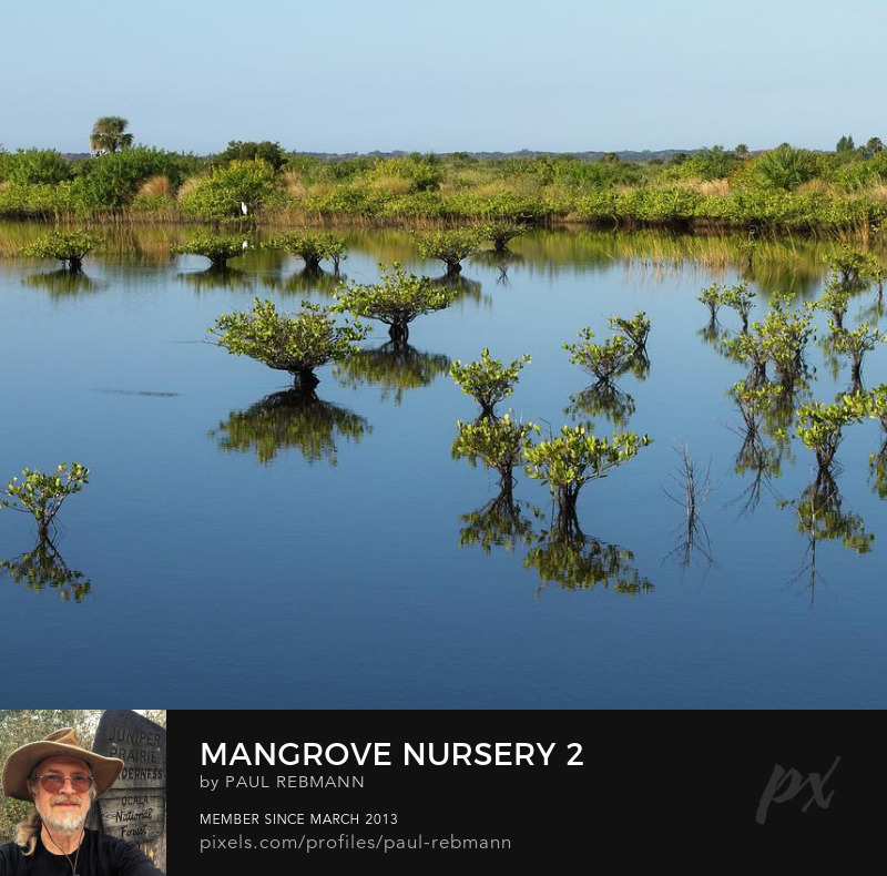 View online purchase options for Mangrove Nursery #2 by Paul Rebmann