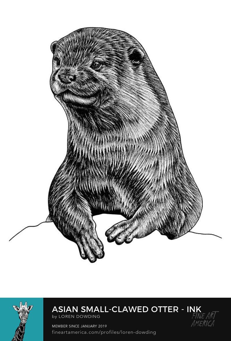 oriental small clawed otter animal ink illustration drawing loren dowding