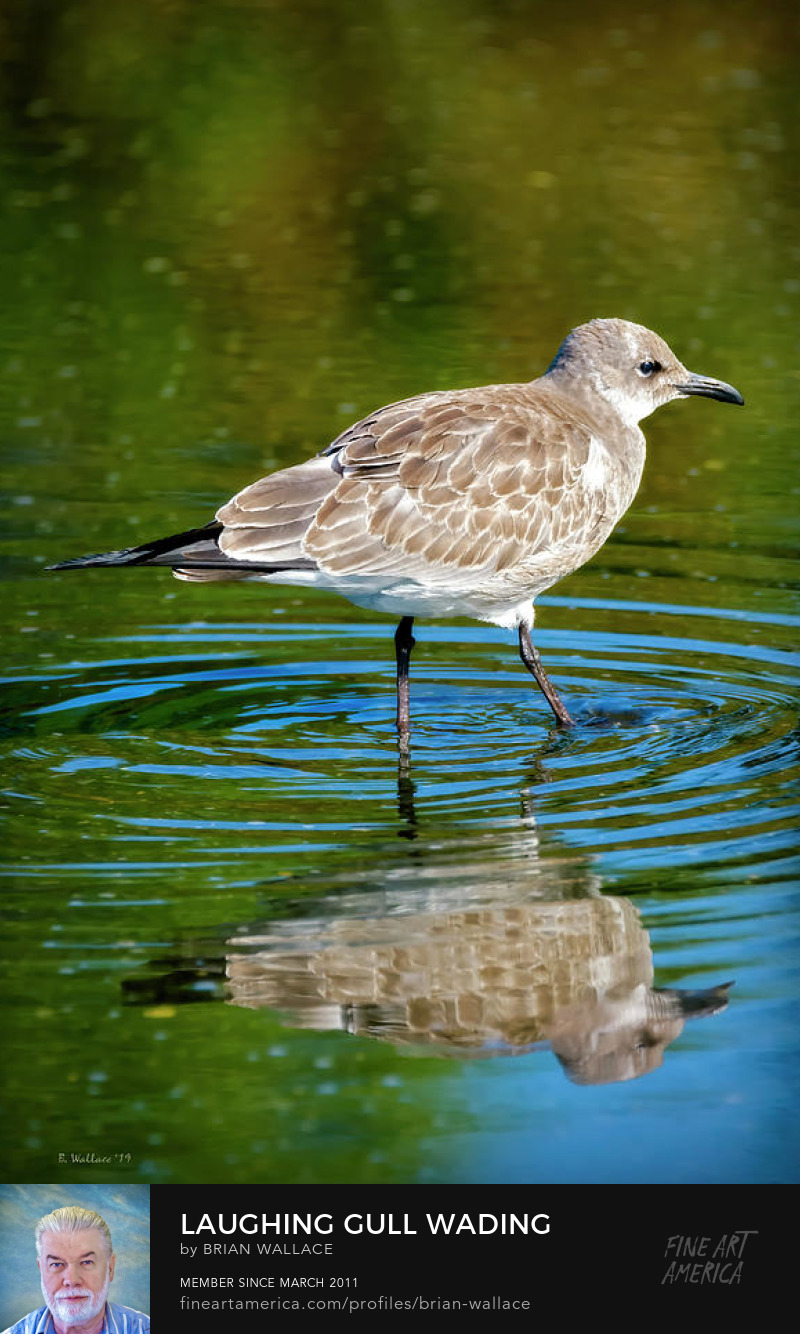 Laughing Gull Wading by Brian Wallace
