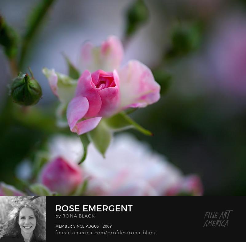 Rose Emergent by Rona Black