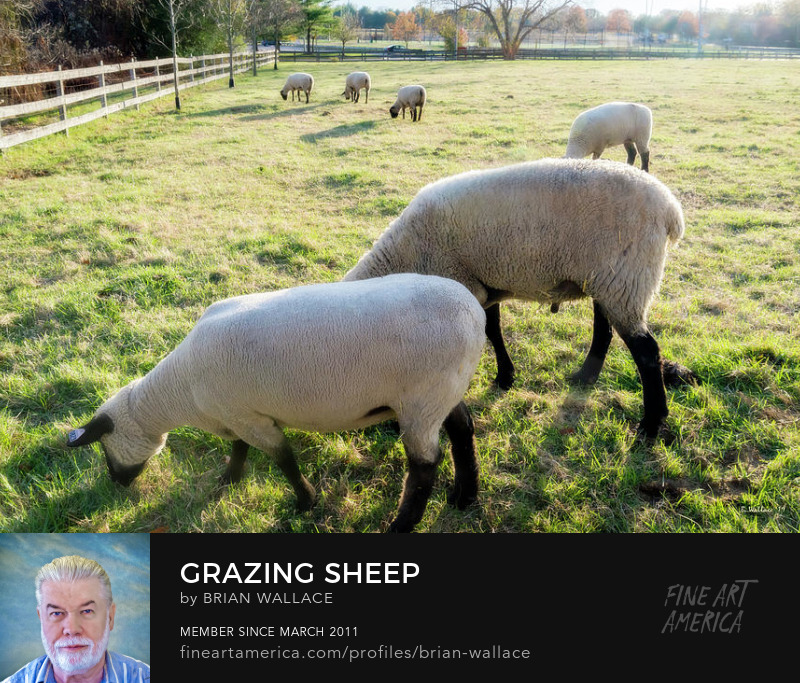 Grazing Sheep by Brian Wallace