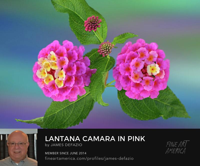 Lantana Camara In Pink And Yellow