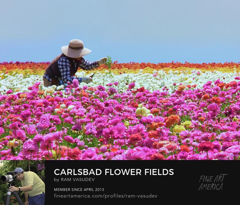 Carlsbad Flower Fields Fine Art by Ram Vasudev