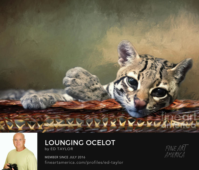 lounging ocelot
