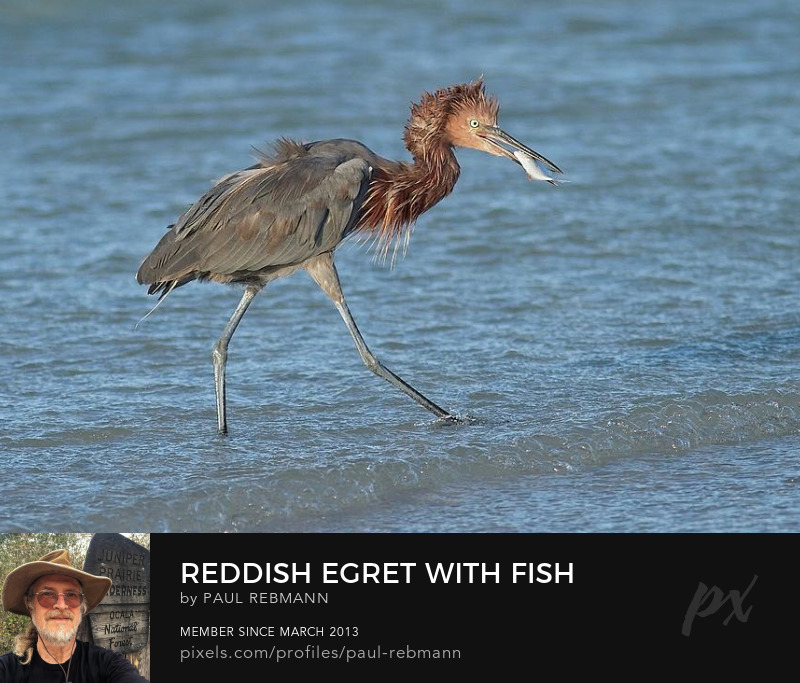 View online purchase options for Reddish Egret with Fish by Paul Rebmann