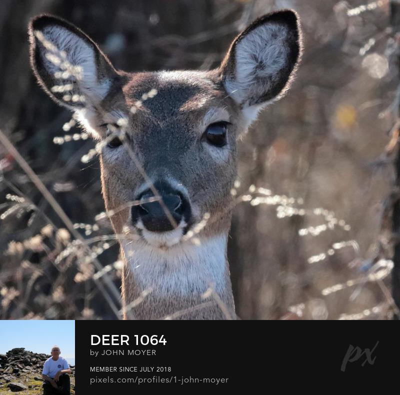 White-tailed Deer (Odocoileus virginianus) at Lake Thunderbird State Park, January 24, 2020
