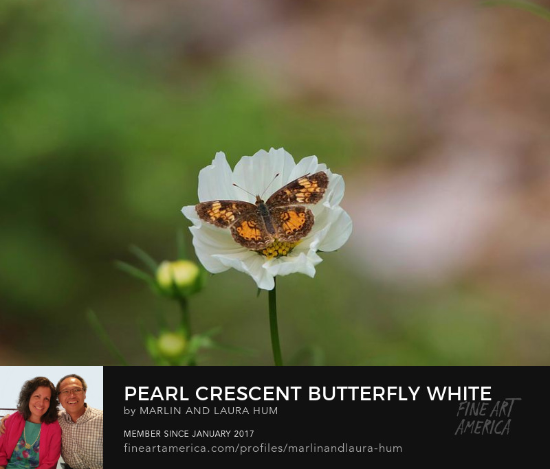 Pearl Crescent Butterfly White Cosmos