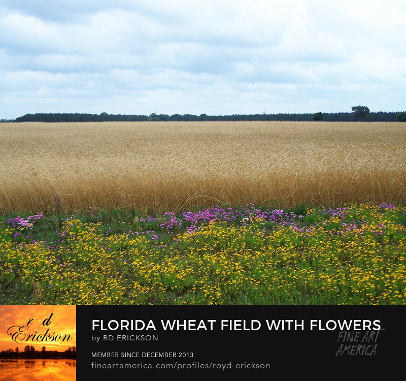 Florida wheat field