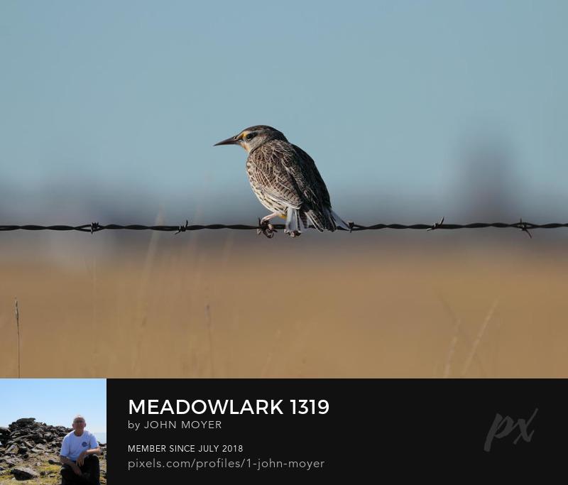 Eastern Meadowlark (Sturnella magna) near Salt Plains National Wildlife Refuge, January 31, 2020