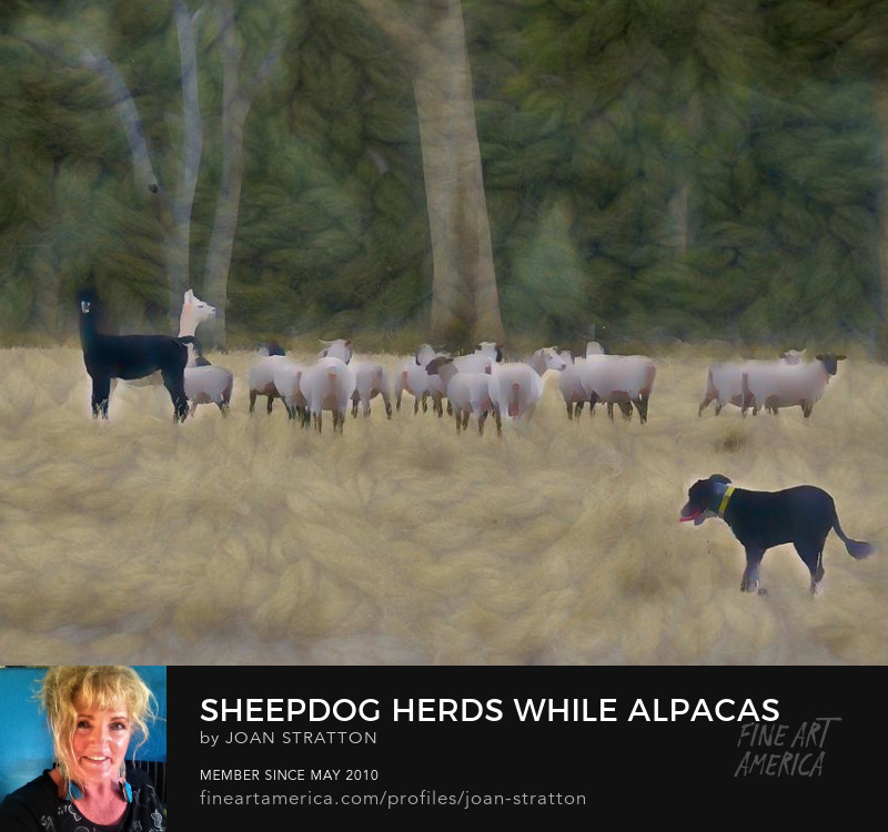Farming Sheepdog Herds Alpacas And Sheep by Joan Stratton