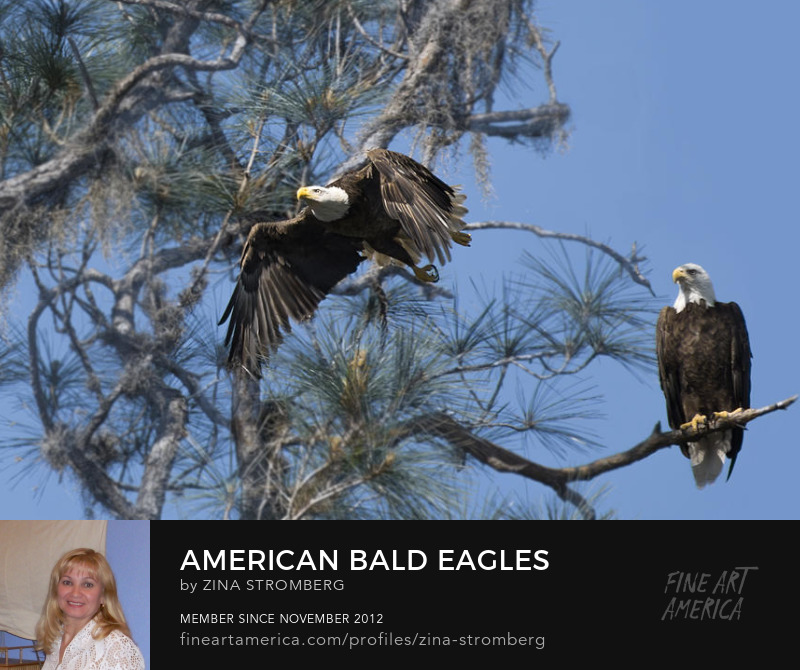 American Bald Eagles  by Zina Stromberg
