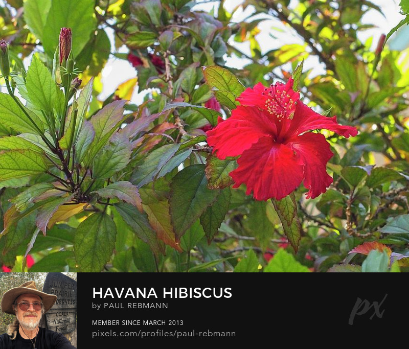 View online purchase options for Havana Hibiscus by Paul Rebmann