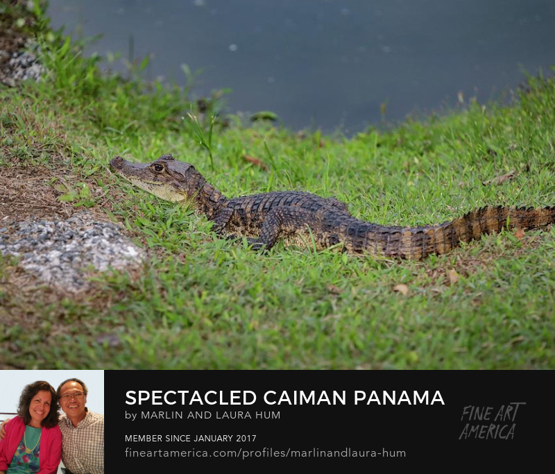 Spectacled Caiman Panama by Marlin and Laura Hum