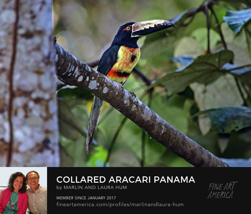 Collared Aracari Panama by Marlin and Laura Hum