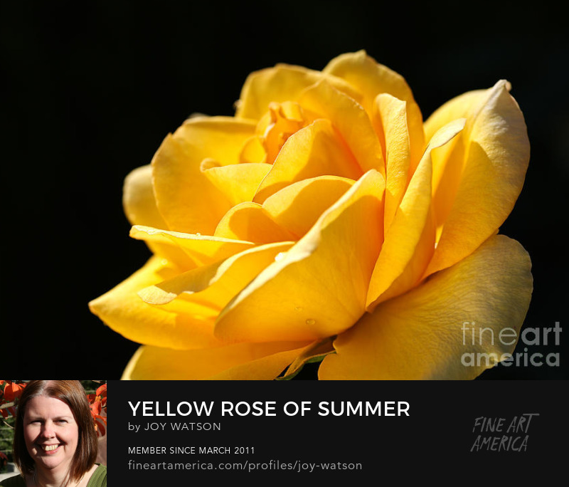Yellow Rose Of Summer photography joy watson