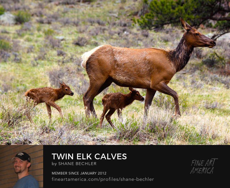 Twin Elk Calves by Shane Bechler