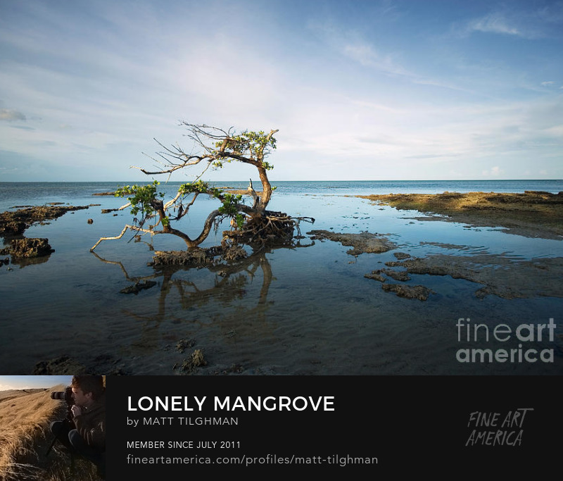 Gnarled Old Mangrove Art Prints