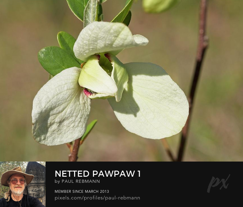 View online purchase options for Netted Pawpaw #1 by Paul Rebmann