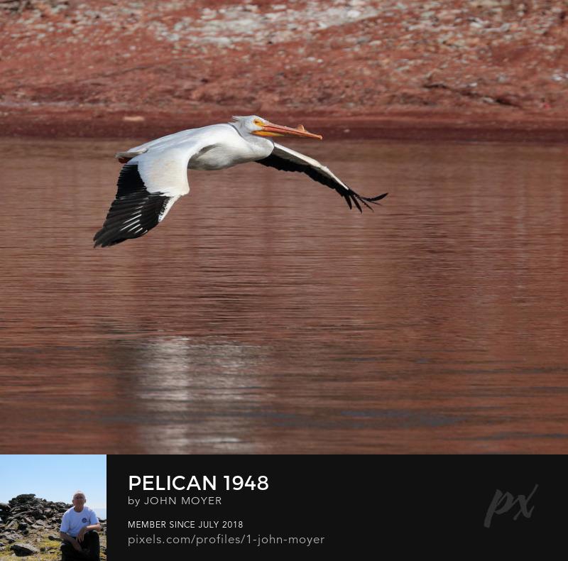 American White Pelican (Pelecanus erythrorhynchos) at Salt Plains State Park, March 6, 2020