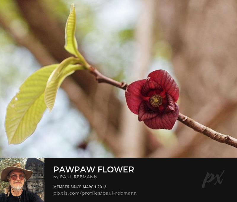 View online purchase options for Pawpaw Flower by Paul Rebmann