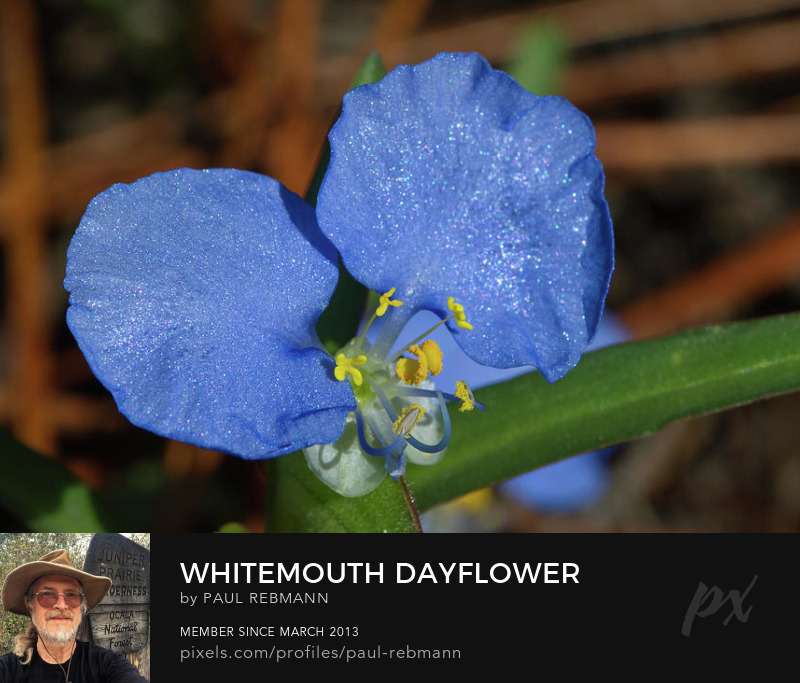 View online purchase options for Whitemouth Dayflower by Paul Rebmann