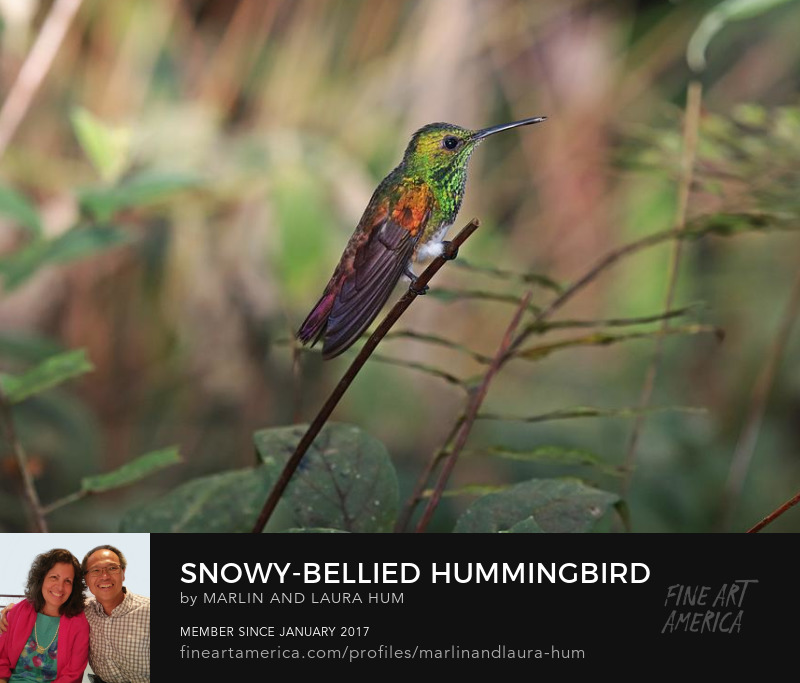 Snowy-bellied Hummingbird by Marlin and Laura Hum