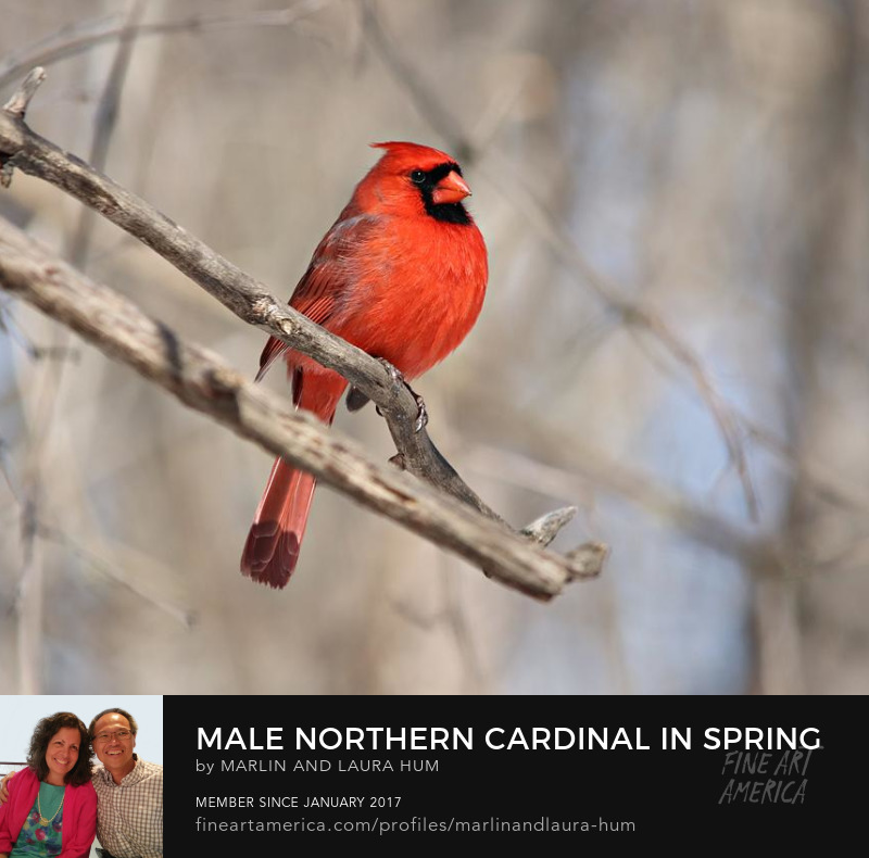 Male Northern Cardinal in Spring by Marlin and Laura Hum