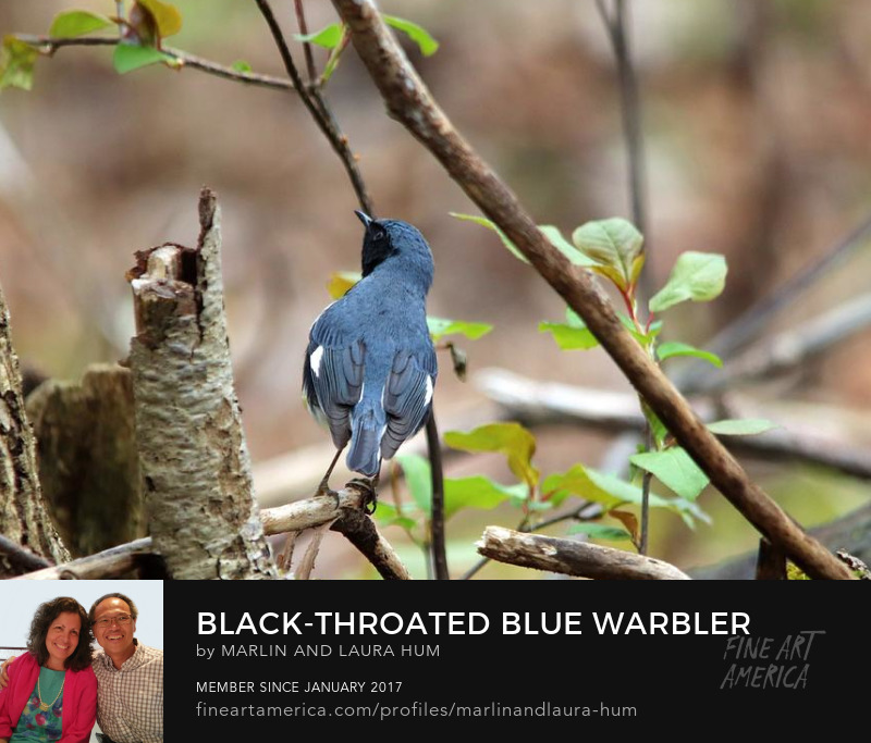 Black-throated Blue Warbler Spring by Marlin and Laura Hum