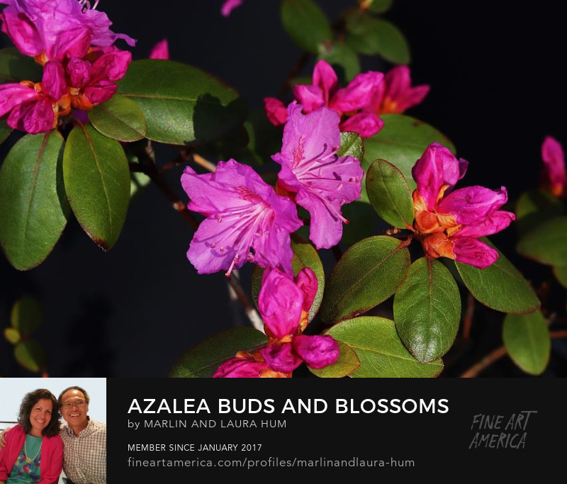 Azalea Buds and Blossoms by Marlin and Laura Hum