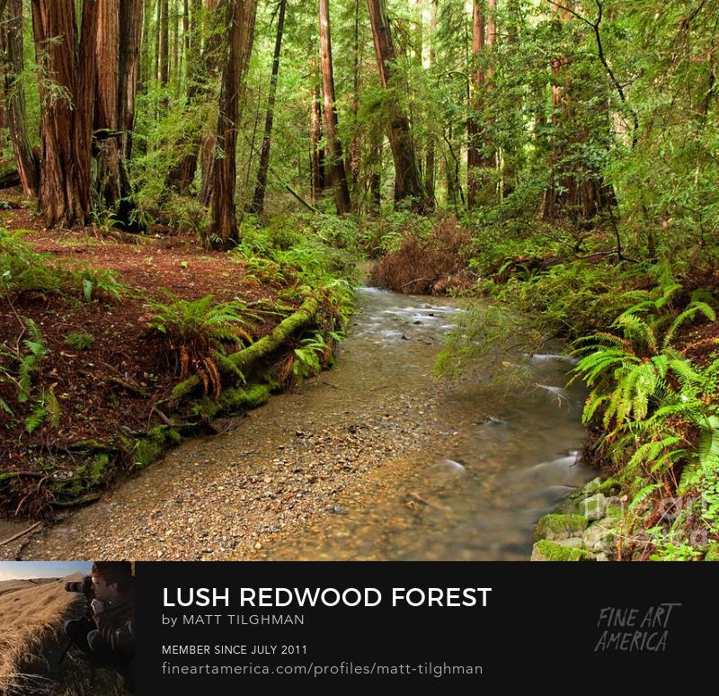 Muir Woods Art Online