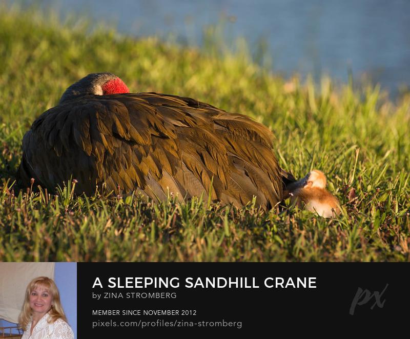 Sandill crane with chick sleeping by ZinaStromberg