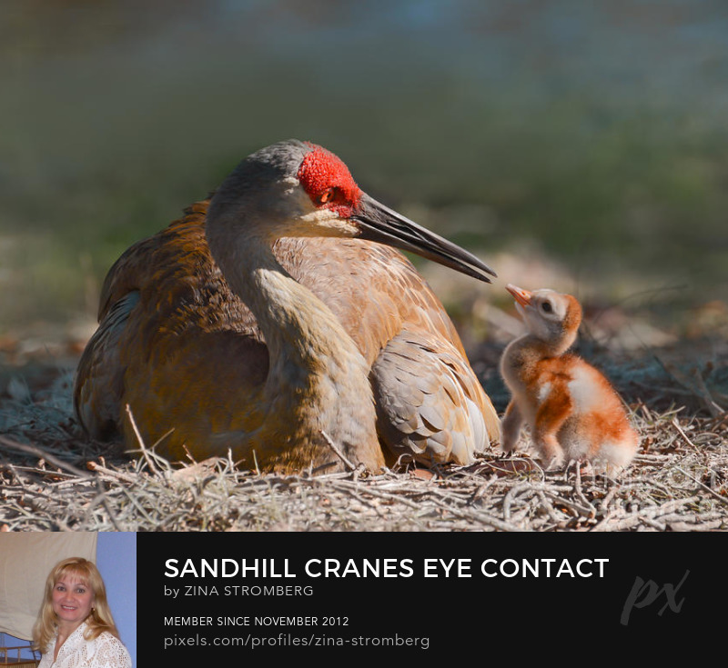 Sandhill cranes eye contact to its baby by Zina Stromberg