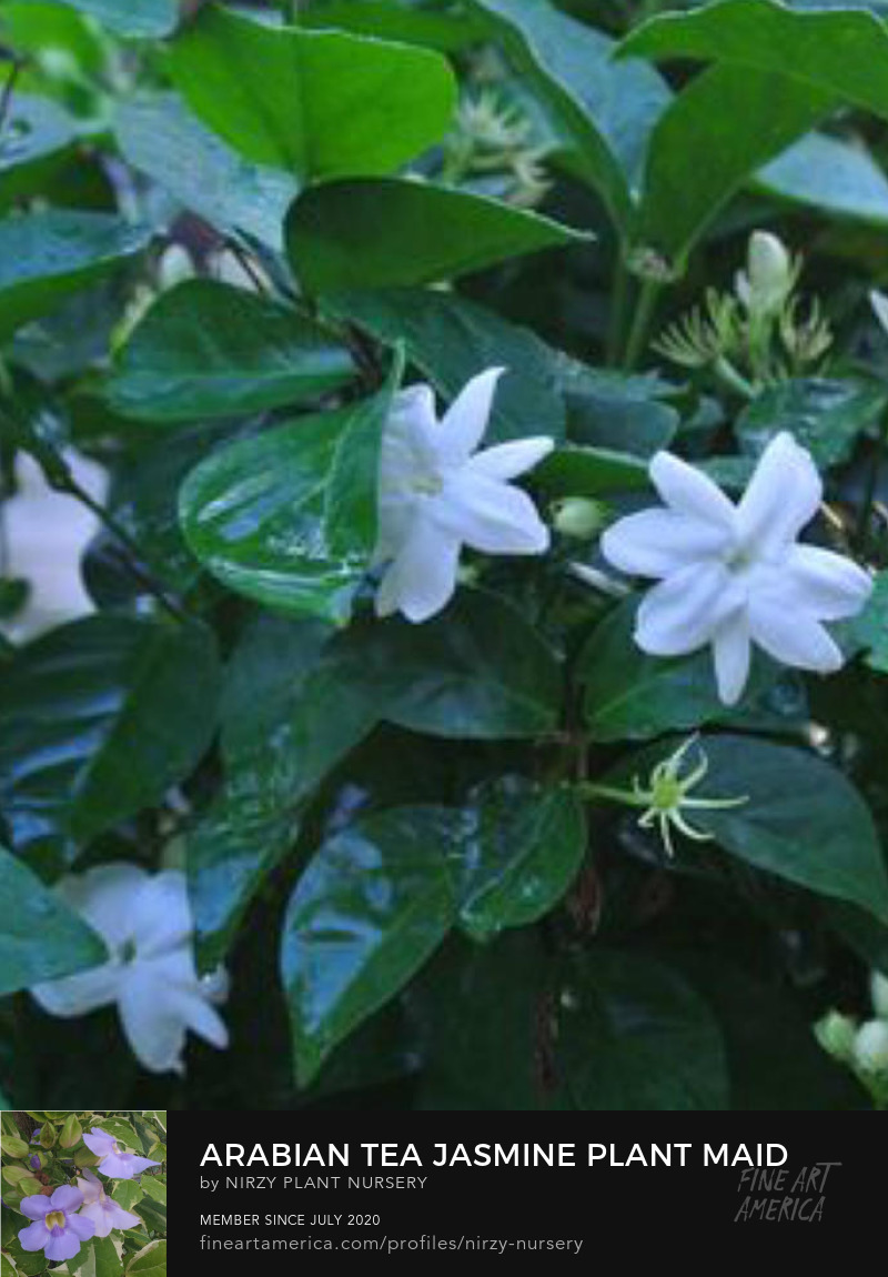 Jasminum Sambac Arabian jasmine