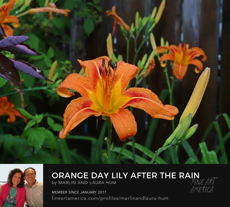 Orange Day Lily After the Rain Marlin and Laura Hum