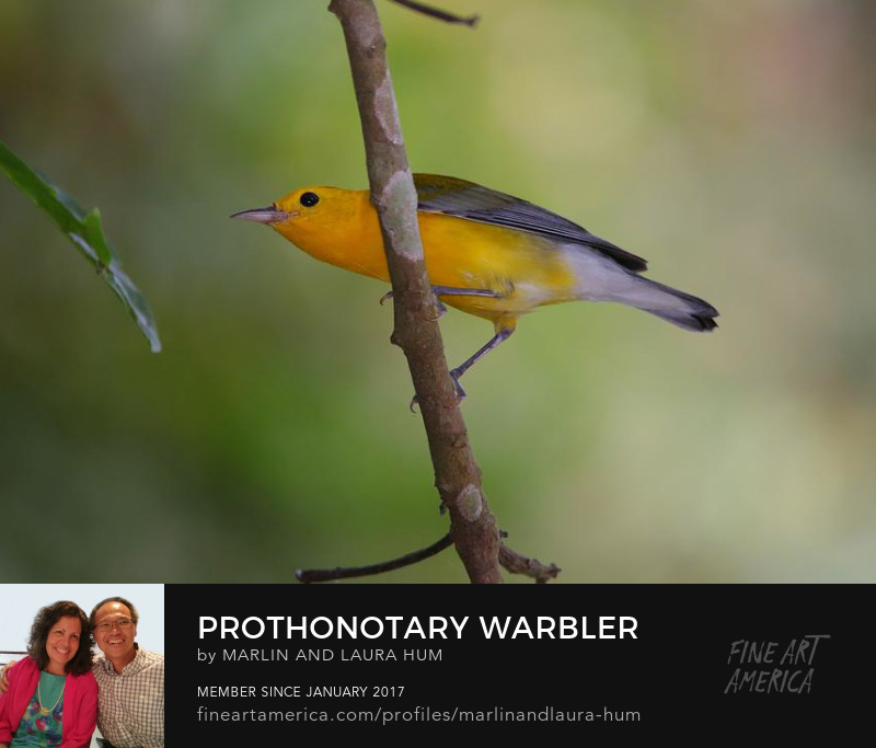 Prothonotary Warbler by Marlin and Laura Hum