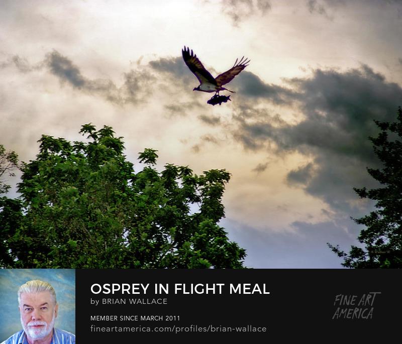 Osprey In Flight Meal by Brian Wallace