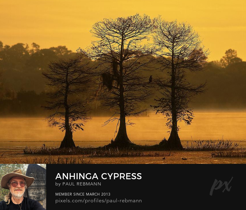 View online purchase options for Anhinga Cypress by Paul Rebmann
