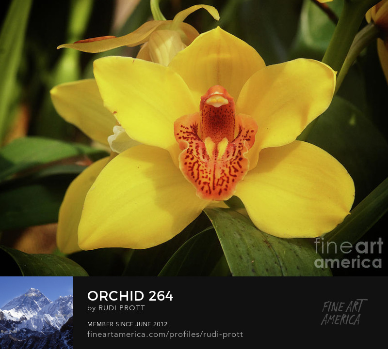 yellow orchid by Rudi Prott