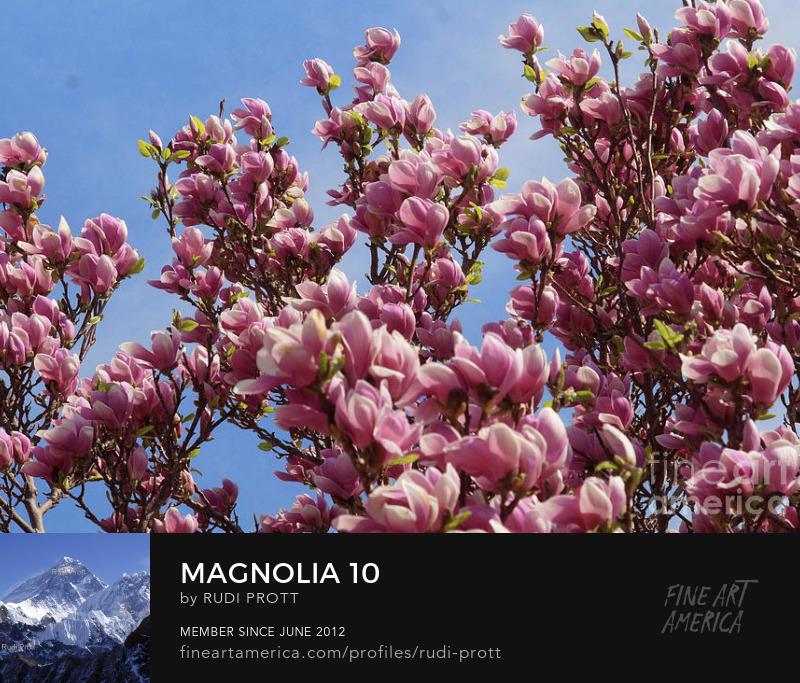 magnolia by Rudi Prott