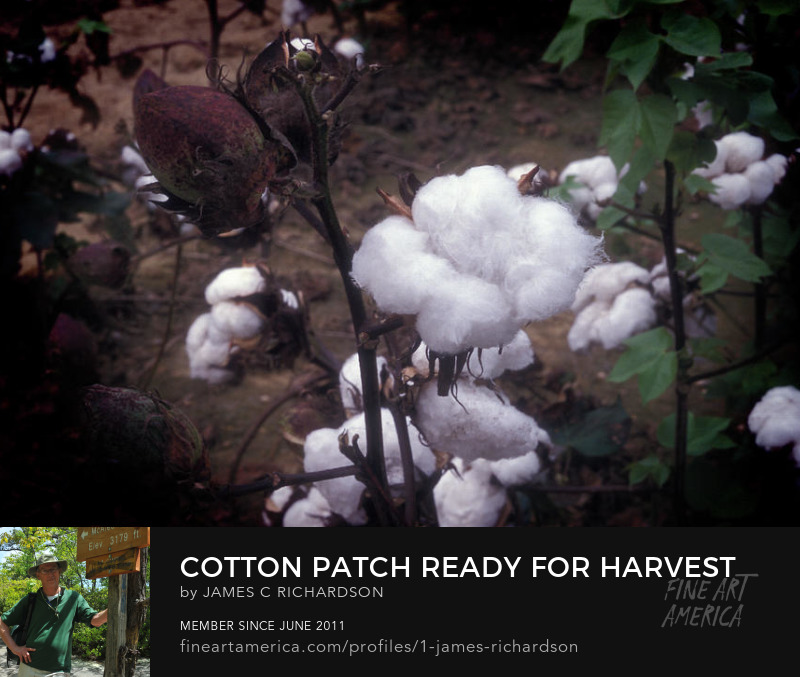 Cotton Patch Ready for Harvest