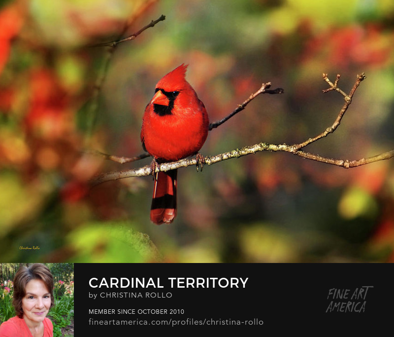Northern Cardinal Canvas Art for Sale