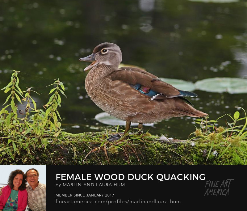 Female Wood Duck Quacking by Marlin and Laura Hum