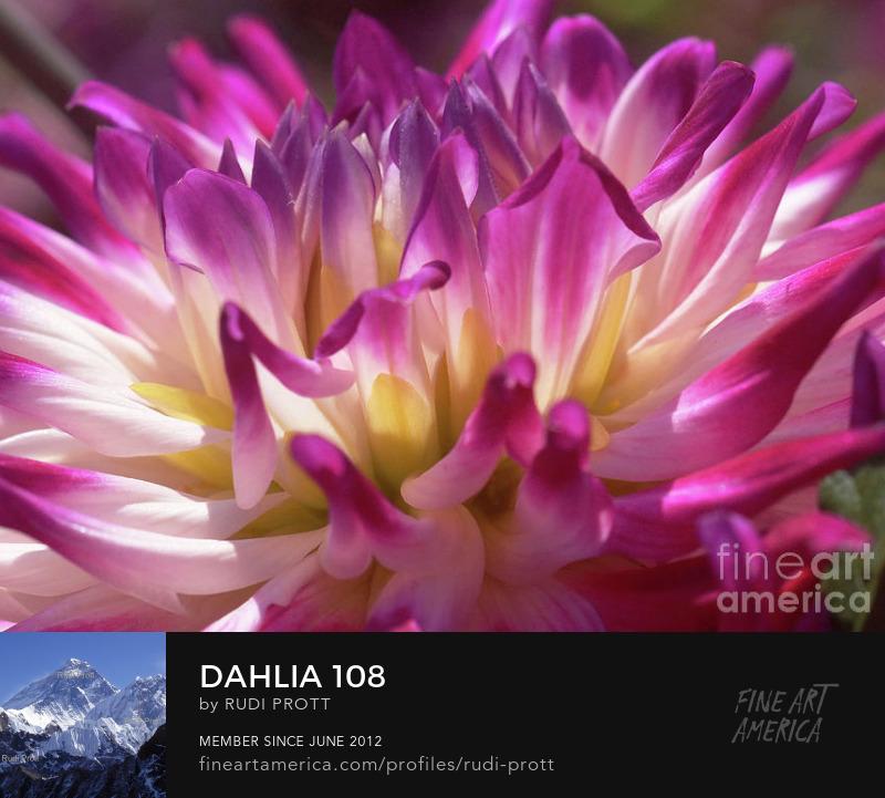 dahlia by Rudi Prott